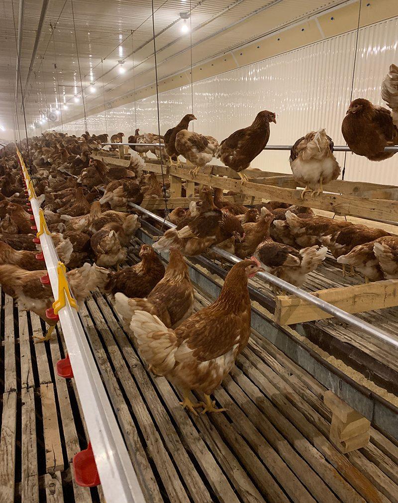 poules-poulailler